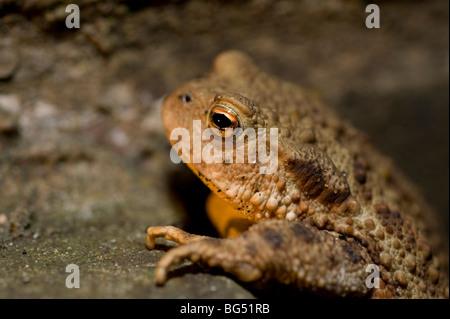 Common European toad Bufo Bufo - Stock Photo