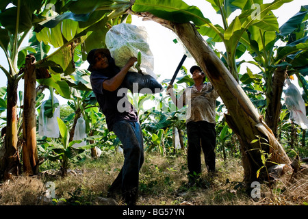 A young Colombian boy carrying a bunch of crude bananas on the banana plantation in Aracataca, Colombia. - Stock Photo
