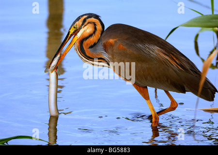 "Grey Heron  (Ardea Cinerea) hunting a slipway in ""Delta del Ebro"" Nature reserve - Stock Photo"