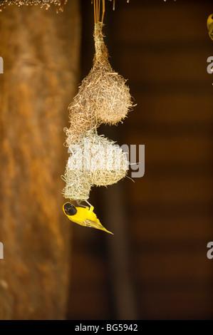 African Weaver Birds (akiapola'au). Kruger National Park. South Africa