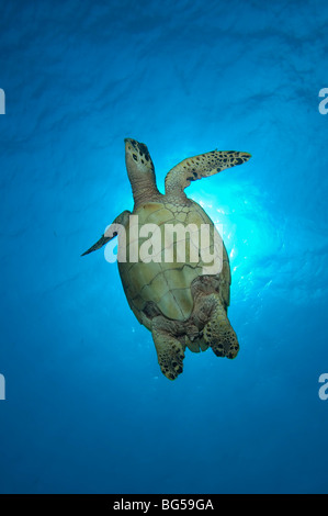 A Hawksbill turtle swimming towards the surface in Little Cayman. - Stock Photo