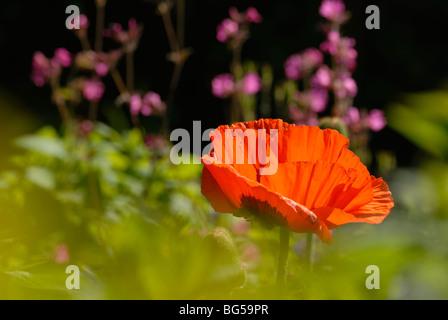Papaver orientale, Oriental Poppy with Silene dioca, Red Campion. - Stock Photo