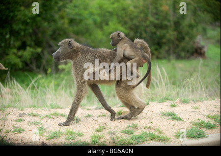 Baboon mother and baby, Kruger National Park. South Africa/ - Stock Photo