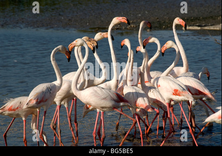 Greater Flamingos (Phoenicopterus ruber) at Camargue Regional Nature Park, Provence, France - Stock Photo