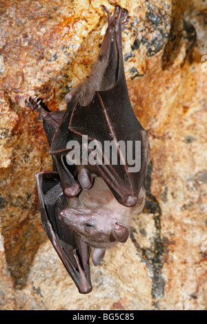 Geoffroy's Rousette, or Common Rousette Bat, Rousettus amplexicaudatus, roosting in the cave at Pura Goa Lawah, - Stock Photo