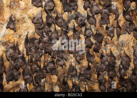 Colony of Geoffroy's Rousette, or Common Rousette Bats, Rousettus amplexicaudatus, roosting in  cave at Pura Goa - Stock Photo