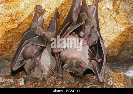 Geoffroy's Rousette, or Common Rousette Bats, Rousettus amplexicaudatus, roosting in the cave at Pura Goa Lawah, - Stock Photo