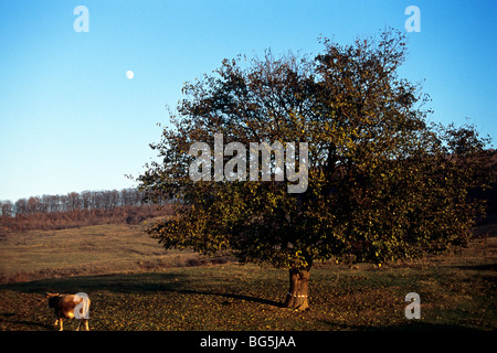 one tree, cow, forest, moon and blue sky in background - Stock Photo