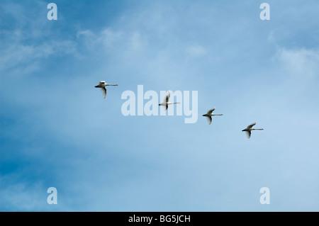 fliegende Schwäne am Himmel, Insel Usedom, Mecklenburg-Vorpommern, Deutschland | flying swans, Isle of Usedom, Mecklenburg - Stock Photo