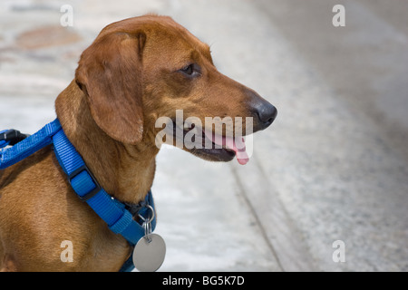 A miniature dachshund, in a blue harness, blank tag and tongue hanging, looking attentive, straight ahead. - Stock Photo