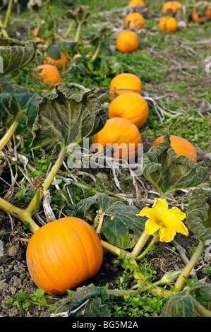 Pumpkin Patch, Connecticut - Stock Photo