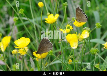 A pair of Ringlet butterflies (Aphantopus hyperantus) - Stock Photo