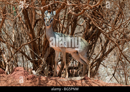 Small antelope Dik-dik under a bush - Stock Photo