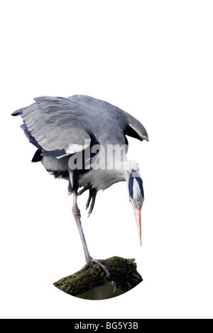 Grey Heron Ardea cinerea fishing - Stock Photo