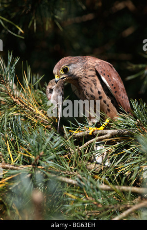 Kestrel (falco tinnunculus) male perching in pinetree with mouse - Stock Photo