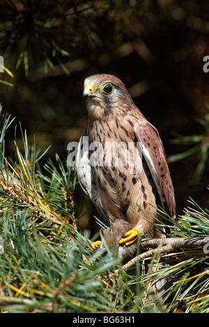 Kestrel (falco tinnunculus) male perching in pinetree - Stock Photo