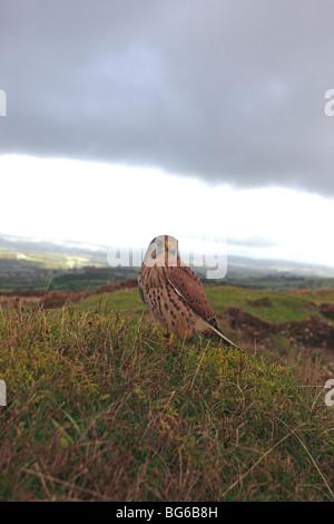 kestrel (Falco tinnunculus) male perching on hillside - Stock Photo