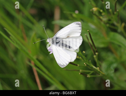 A Green Veined White (Pieris napi) butterfly - Stock Photo