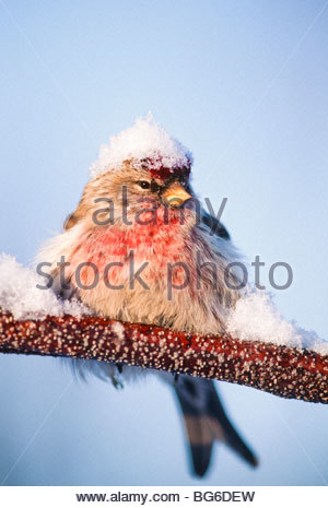 Alaska. Big Lake. Redpoll (Carduelis flammes). - Stock Photo