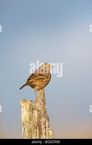 meadow pipit (Anthus pratensis) perching on old fence post - Stock Photo