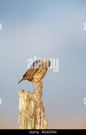 meadow pipit (Anthus pratensis) perching on old fence post preening - Stock Photo