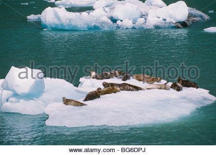 Alaska. Tracy Arm. South Sawyer Glacier. Harbor seals (Phoca vitulina) resting on iceberg. - Stock Photo