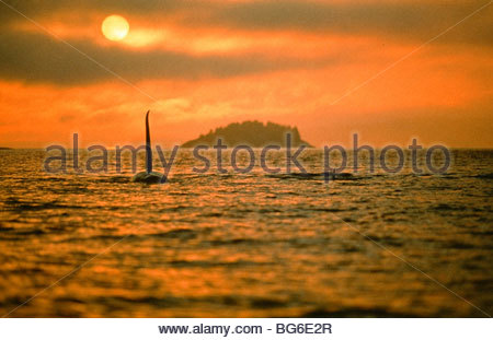 Alaska. Orca / Killer Whale (Orcinus orca) swims into sun. - Stock Photo