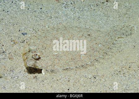 Wide-eyed flounder fish in the Mediterranean Sea, off Monaco - Stock Photo