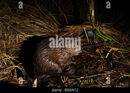 European beaver Castor fiber in Slovenia - Stock Photo
