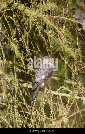 Sparrow hawk (Accipter nisus) male perching in larch tree - Stock Photo