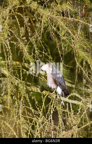 Sparrow hawk (Accipter nisus) male scratching head in larch tree - Stock Photo