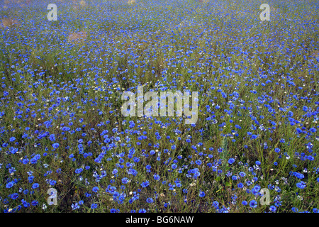 Cornflowers (Centaurea cyanus) in flower in field - Stock Photo