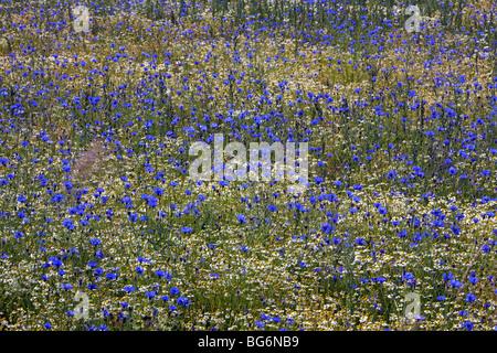 Cornflowers (Centaurea cyanus) flowering in field - Stock Photo