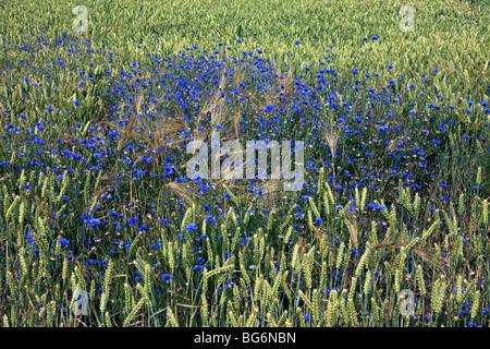 Cornflowers (Centaurea cyanus) in flower in wheat field - Stock Photo