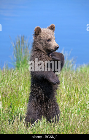 Cute curious European brown bear (Ursus arctos) cub standing upright on lake bank, Sweden - Stock Photo