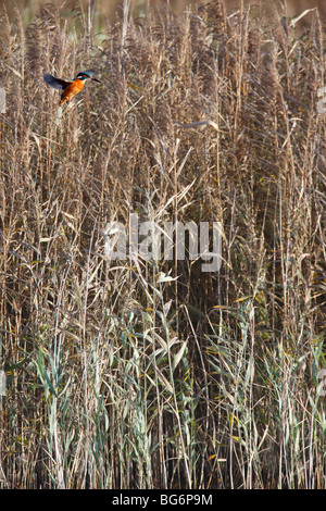 Kingfisher (Alcedo atthis) hovering near reeds - Stock Photo