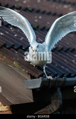 Herring gull (Larus argentatus) feeding on garage roof - Stock Photo