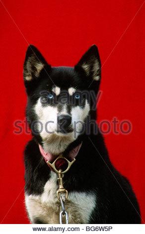 Alaska. Blue eyed female Alaskan Husky dog. - Stock Photo