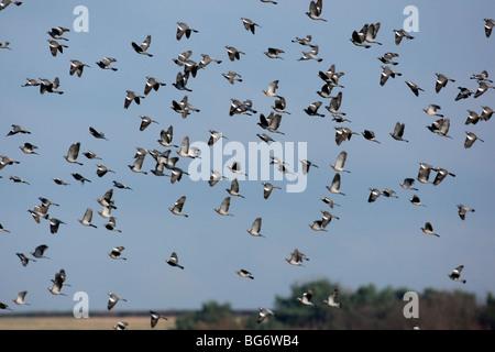 Wood pigeon, Columba palumbus, large flock in flight in winter, Shropshire 2009 - Stock Photo