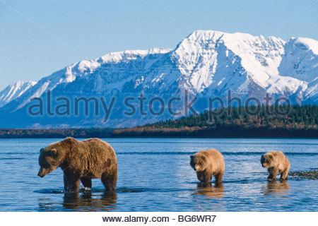 Alaska. Katmai NP. Grizzly Bear (Ursus horribilis) with cubs. - Stock Photo