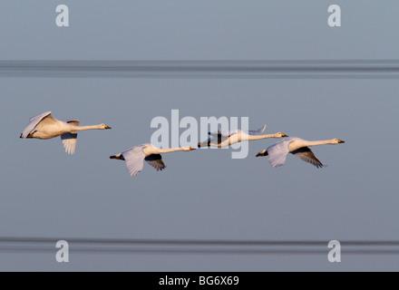 Whooper Swan Cygnus cygnus flight power cables - Stock Photo