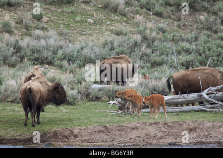 Bison calves call to adult bison on the bank of the Madison River in Yellowstone National Park, Wyoming, USA. - Stock Photo