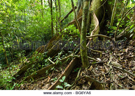 Buttress roots of an ancient banyan tree in the tropical rainforest. - Stock Photo
