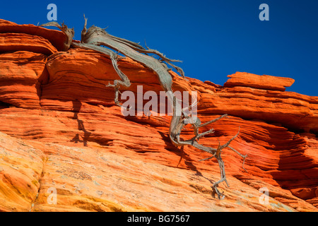 Dead juniper contrasted against a sandstone wall in Vermilion Cliffs National Monument - Stock Photo
