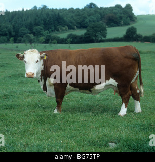 A pedigree Hereford cow on pasture, Herefordshire - Stock Photo