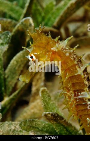 Thorny or Jayakar's seahorse, Hippocampus jayakarai, on seagrass in natural habitat - Stock Photo