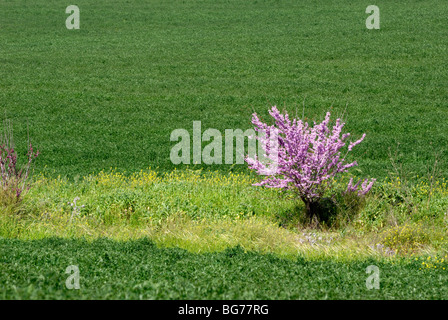 Israel, Negev, purple blossoms on a lone tree in a wheat field - Stock Photo