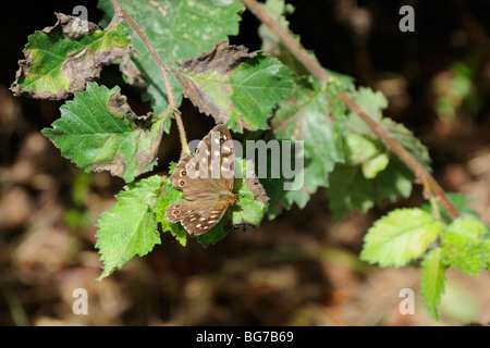 Speckled wood butterfly (Pararge aegeria) resting on a bramble bush - Stock Photo