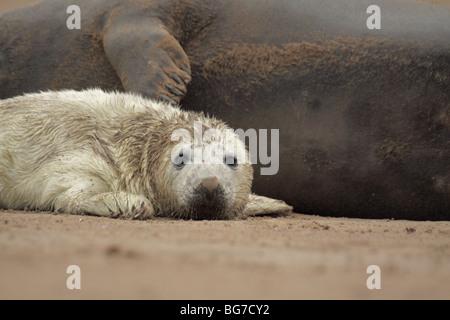atlantic grey seal halichoerus grypus - Stock Photo