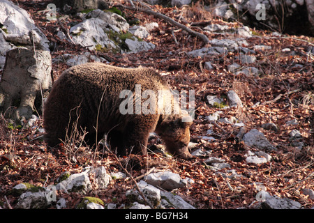 Female European brown bear in Dinaric mountains - Stock Photo